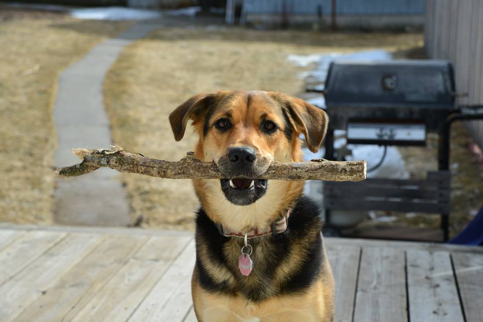 Dog with stick in her mouth